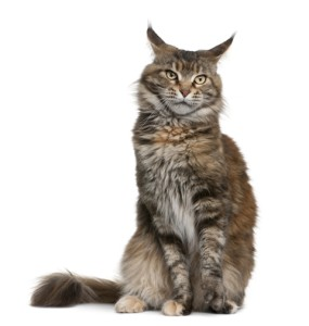 http://www.dreamstime.com/stock-photography-maine-coon-cat-3-years-old-image13667872