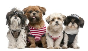 http://www.dreamstime.com/royalty-free-stock-photography-shih-tzu-s-image16713937